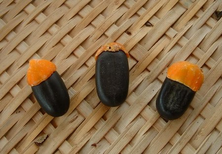 Zaden van Afzelia africana met mierenbroodje (Foto: Jeffdelonge - GNU Free Documentation License)