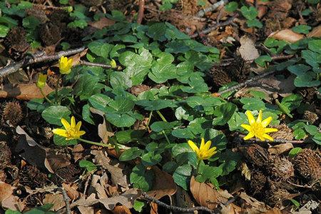 speenkruid - Ranunculus ficaria (Foto: AnneTanne - Creative Commons License)