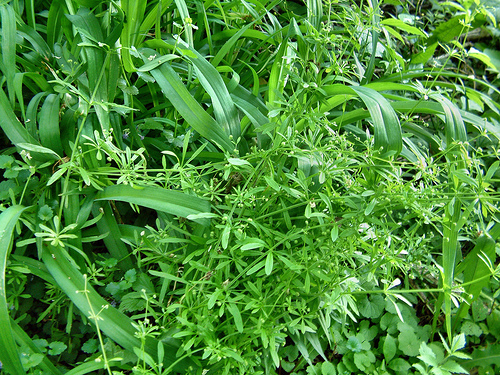 Galium aparine - Kleefkruid. Foto: Ed Luschei - Creative Commons License