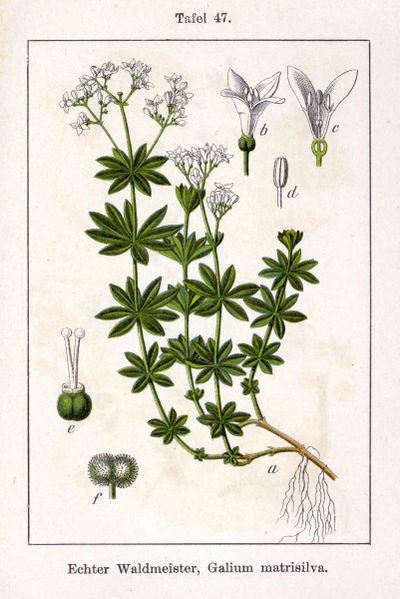 Galium odoratum - Lievevrouwebedstro. Sturm 1796 - Public Domain