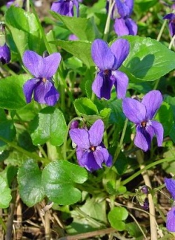 Viola odorata - Maartse viooltjes. Foto: Leo Michels ©