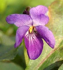 Viola odorata - Maarts Viooltje.  Foto: AnneTanne - Creative Commons License
