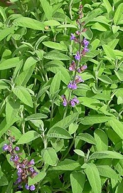 Salie - Salvia officinalis. Foto: Leo Michels ©