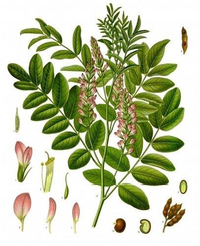 Zoethout - Glycyrrhiza glabra. Koehler's Medicinal-Plants 1887 - Public Domain